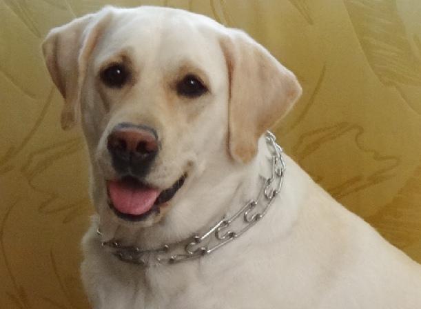 строгие ошейники для собак