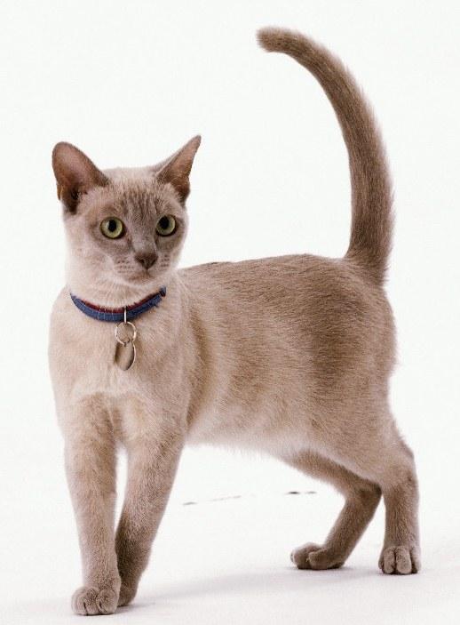 декоративные ошейники для кошек
