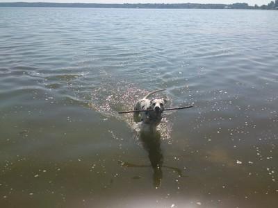 далматинец оскар плавает